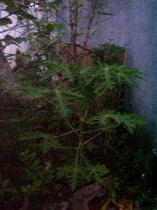 We are now growing five papaya trees in our gardens.