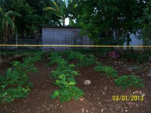 We grow camote in our food garden for the leaves, not the sweet potatoes tubers.  We also grow papaya trees.