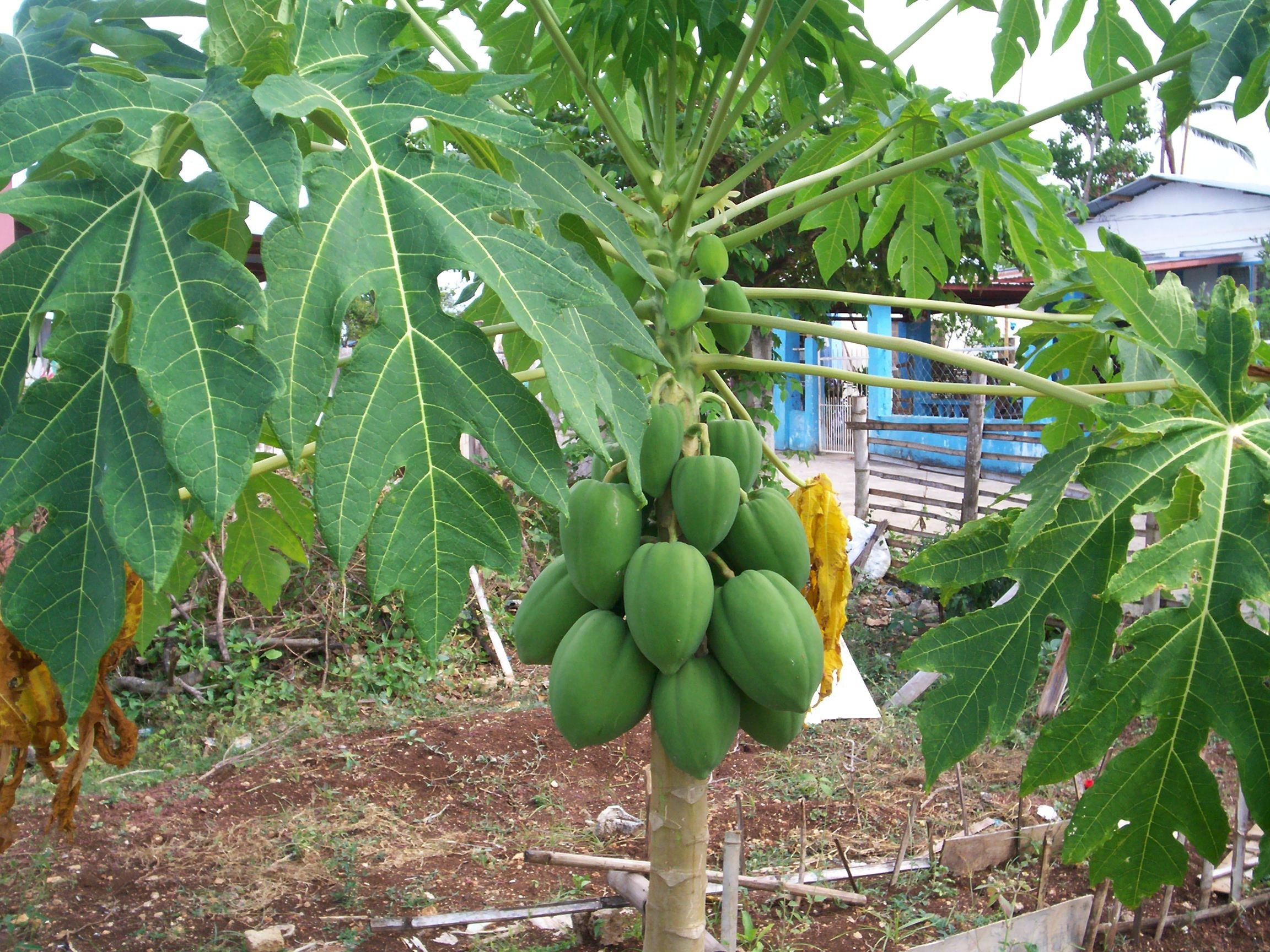 dengue fever epidemics should have ended in 2008 ask doctor extracting juice from the leaves of a fruit bearing papaya tree provides a cheap cure