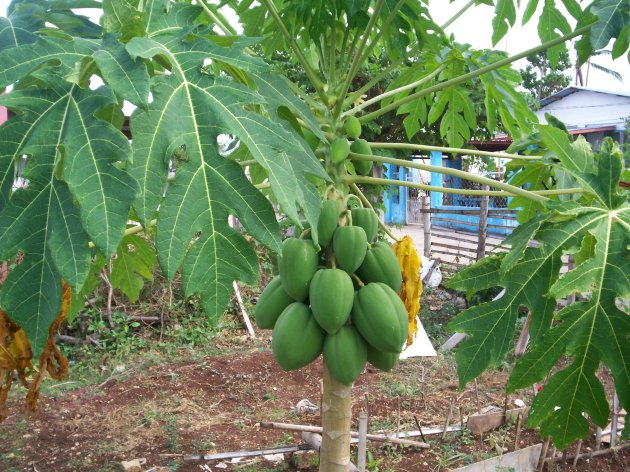 Extracting juice from the leaves of a fruit bearing papaya tree, provides a cheap cure for all types of dengue fever.