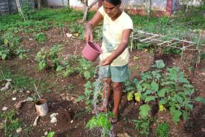 Alicia watering a very young papaya tree-- a source of for virus killing teas.